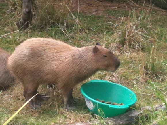 Capybara weekend